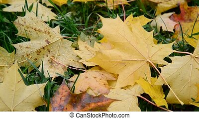 yellow maple leaf lying on grass in autumn - yellow maple...