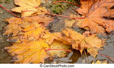 yellow maple leaf lying in a puddle in autumn - An yellow...