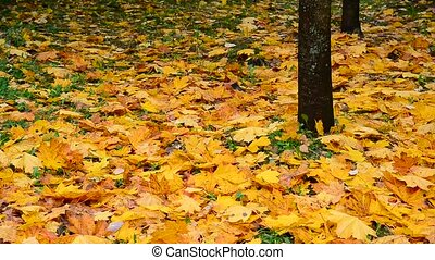 Many Wet yellow maple leaf lying under the trees in autumn -...