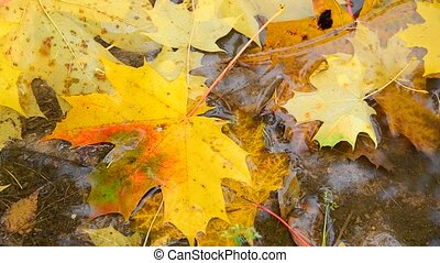 yellow maple leaf lying in a puddle in fall, close-up - An...