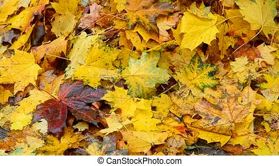 Many bright yellow maple leaves lie on ground - Many bright...