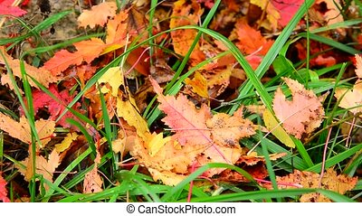 Wet yellow maple leaf lying on bright green grass in autumn...