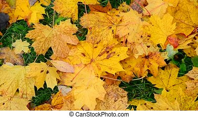 Wet yellow maple in autumn - yellow maple leaf lying on a...
