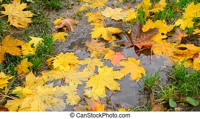 yellow maple leaf lying in a puddle in fall - An yellow...