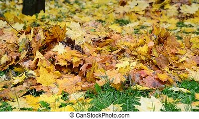 Many Wet yellow maple leaf lying on green grass in autumn