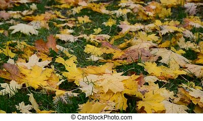 yellow maple leaf lying on green grass in autumn