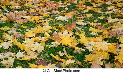 yellow maple leaf lying on green grass in autumn - yellow...