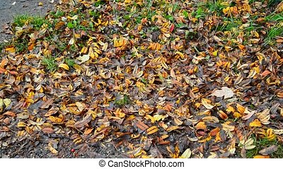 Many fall Rowan leaves lie on ground - Many fall Rowan...