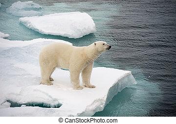 Polar, Gehen, meer, bär, eis