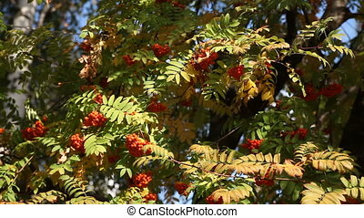 Red rowan tree autumn - Red ripe rowan tree autumn