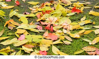 Wet fall maple leaf lying on ground covered with moss - Wet...