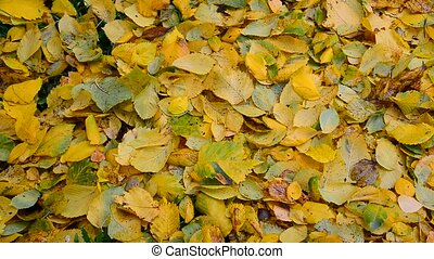 Autumn elm leaves fall to ground