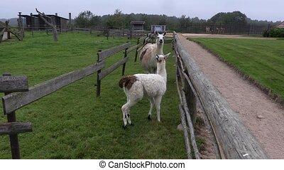 Llama running in paddock