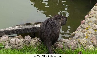 Wild nutria,water rat near to water