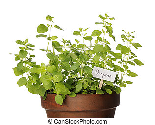 Oregano - Potted Oregano herb with a sign