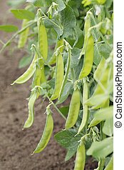 Sugar peas growing in a garden.