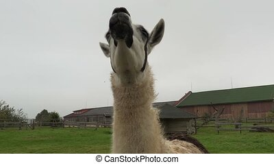 Llama eating maple leaf