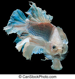 betta fish, fighting fish , siamese fighting fish isolated...
