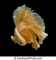 betta fish - gold betta fish, fighting fish , siamese...