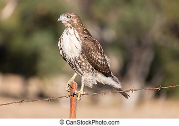 Red-tailed Hawk - Buteo jamaicensis, Juvenile - Red-tailed...