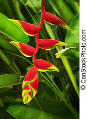 Heliconia - Close up on beautiful tropical plant red...