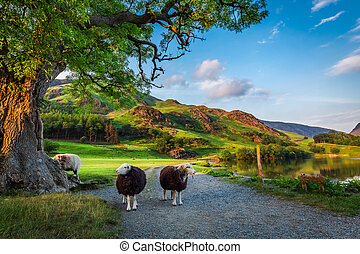 Two curious sheeps on pasture at sunset in the Lake District, England