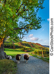 Sheeps on footpath at sunset in the Lake District, England