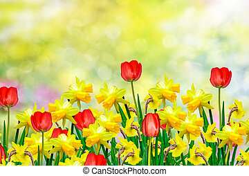 Spring flowers daffodils and tulips - Colorful flowers...
