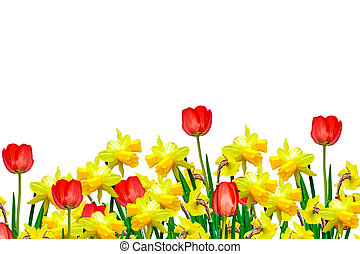 Colorful flowers tulips and daffodils isolated on white...