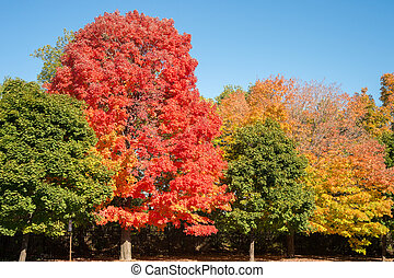 Maple trees with autumn colors in Montreal, Canada.