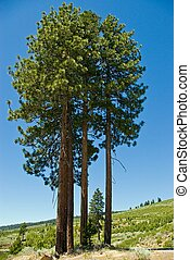 Clump - A clump of tall ponderosa pine trees in the...