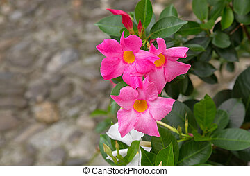 Mandevilla, Rocktrumpet flowers with pink petals and yellow...