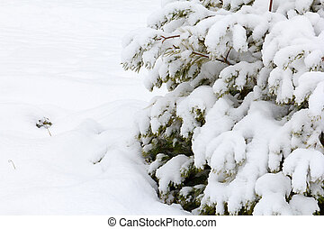 Landscape scenery forest in winter and pine trees covered by...