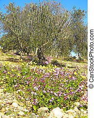Gethsemane Garden On Mount Of Olives, Jerusalem - The...