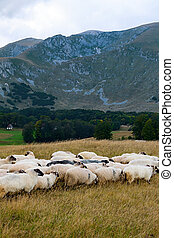 flock of sheep grazes on pasture - The shepherds took the...