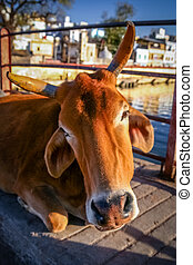 Holy cow close up - Close up of a brown holy cow sitting on...