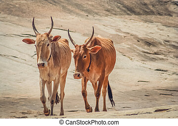 Holy indian cows - Two cows walking on the rocky hill,...