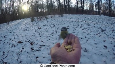 tits eat nuts with human hands in winter