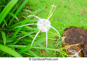 Crinum Lily, Cape Lily, Poison Bulb, Spider Lily