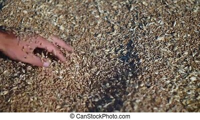 People close to wheat - Hand holds Grains, a major wheat...