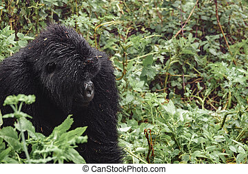 Mountain gorilla thinking in the forest - Profile of...