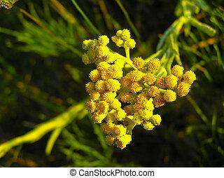 Inflorescence Helichrysum arenarium - Helichrysum arenarium...