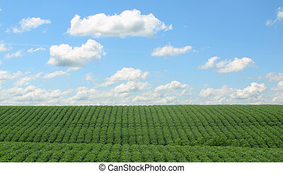 Rows of Soybeans - Rows of green soybeans against a blue sky...