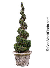 Topiary tree - Box. In very old pot. - Spiral. Note - BOX is...