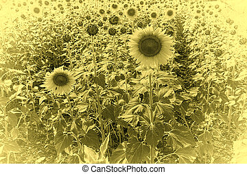 Sunflower Plantation on the Hills of Tuscany, Vintage Style...