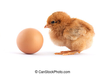 The yellow small chick with egg isolated on a white...