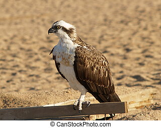 Eagle in desert Egypt Africa