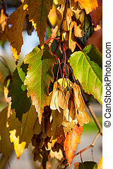 Tatarian maple, Acer tataricum, with seeds - samara