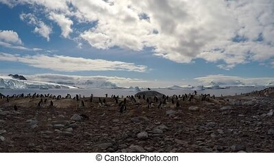 Gentoo Penguins on the nest timelaps - Gentoo Penguins on...