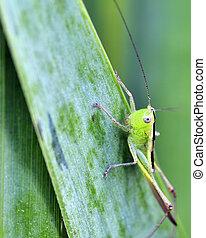 Katydid Nymph - A katydid nymph perched on a green leaf.